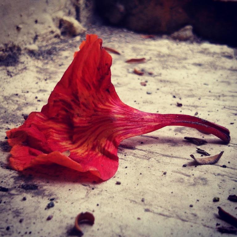 falling gulmohar at iim lucknow image